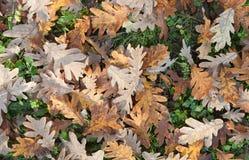 Terra in pieno delle foglie cadute della quercia Immagini Stock Libere da Diritti