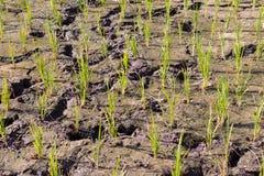 Terra secada rachada do campo do arroz imagem de stock