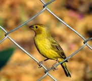 Terra Sicalis-flaveola Canario DA Lizenzfreies Stockfoto