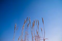 Terra spessa alta dell'erba contro il fondo del cielo blu Fotografia Stock