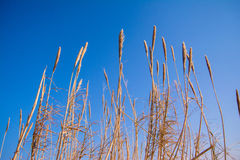 Terra spessa alta dell'erba contro il fondo del cielo blu Fotografie Stock Libere da Diritti