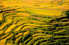 Terrace. Gaopo terrace at guizhou china Royalty Free Stock Image