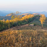 Terrace corn fields in thailand. Hut in corn farm field on mountain Royalty Free Stock Photos