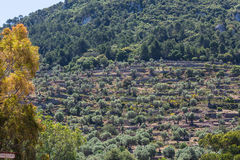 Terrace cultivation on the island of Mallorca, Spain. Royalty Free Stock Photography