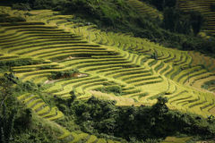 Terrace field rice on the harvest season Stock Image