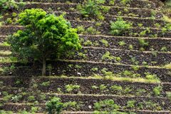 The terrace field tree. Manioc terraced fields,  stone wall and fruit tree Stock Image