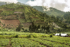 Terrace fields  around Dieng plateu, Java, Indonesia Royalty Free Stock Photo