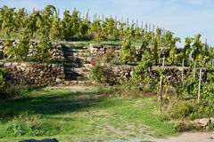 Terrace of grapevines Royalty Free Stock Photography
