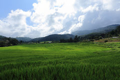 Terrace green rice fields Stock Photo