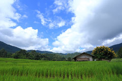 Terrace green rice fields Stock Images
