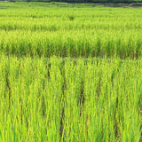 Terrace green rice fields of farming season Royalty Free Stock Photo