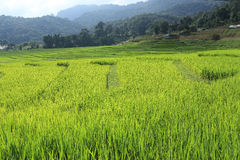 Terrace green rice fields of farming season Stock Photo