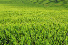 Terrace green rice fields of farming season Stock Photography