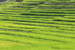 Terrace green rice fields of farming season Royalty Free Stock Image