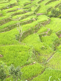 Terrace paddy farms Royalty Free Stock Photography