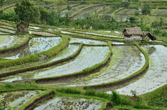 Terrace rice field, Bali, Indonesia Stock Photos