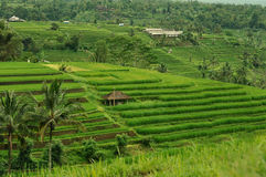 Terrace rice field, Bali, Indonesia Stock Image