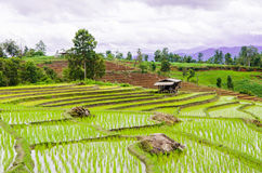 Terrace rice field Royalty Free Stock Images