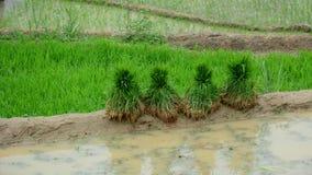 Terrace rice field at irrigate season Royalty Free Stock Photo