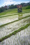 Terrace rice field over the mountain Stock Image