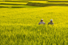 Terrace rice fields Stock Image