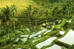 Free Terrace Rice Fields Royalty Free Stock Image - 13662926