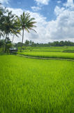 Terrace rice fields Stock Photography