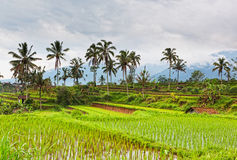 Terrace rice fields Stock Photos