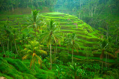 Terrace rice fields Stock Photo