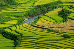 Terrace rice fields. In sapa vietnam Royalty Free Stock Image