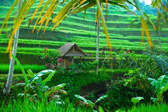 Terrace rice fields on Bali. Indonesia Royalty Free Stock Photo