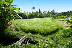 Terrace rice fields, Bali, Indonesi Royalty Free Stock Images