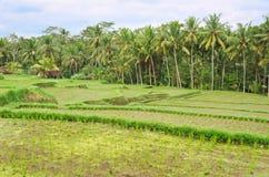 Terrace rice fields Bali, Indonesia Stock Photo