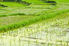Terrace rice fields Bali, Indonesia Royalty Free Stock Images