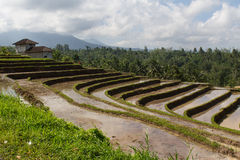 Terrace rice fields on Bali Stock Images