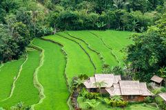 Terrace rice fields Royalty Free Stock Image