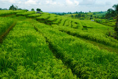 Terrace rice fields, Bali, Indonesia Royalty Free Stock Image
