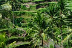 Terrace rice fields on Bali, Indonesia Royalty Free Stock Image