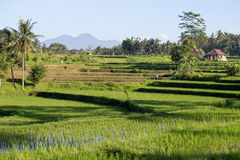 Terrace rice fields, Bali, Indonesia Stock Images