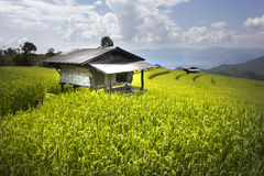 Terrace rice fields in Chiangmai Thailand. Stock Images