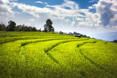 Terrace rice fields in Chiangmai Thailand. Royalty Free Stock Photos