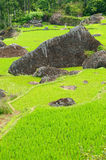 Terrace rice fields on an island Sulawesi in Indonesia Royalty Free Stock Photos