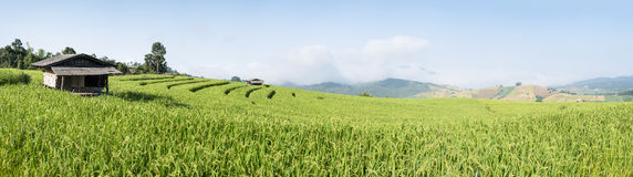 Terrace rice fields in the morning Royalty Free Stock Photos