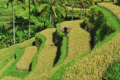 Terrace rice fields in the morning, Ubud, Bali Stock Images