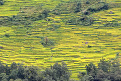 Terrace rice fields in Nepal Royalty Free Stock Photo