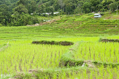 Terrace rice fields in Thailand. Royalty Free Stock Image