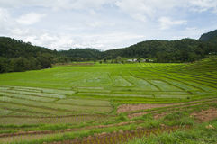 Terrace rice fields in Thailand. Stock Images
