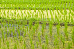 Terrace rice fields in Thailand. Royalty Free Stock Images