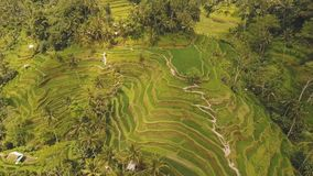 Terrace rice fields in Ubud, Bali,Indonesia. Aerial view of Rice Terrace field, Ubud, Bali, Indonesia.rice plantation,terrace, agricultural land of farmers. 4K stock video footage