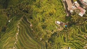 Terrace rice fields in Ubud, Bali,Indonesia. Aerial view of Rice Terrace field, Ubud, Bali, Indonesia.rice plantation,terrace, agricultural land of farmers. 4K stock video